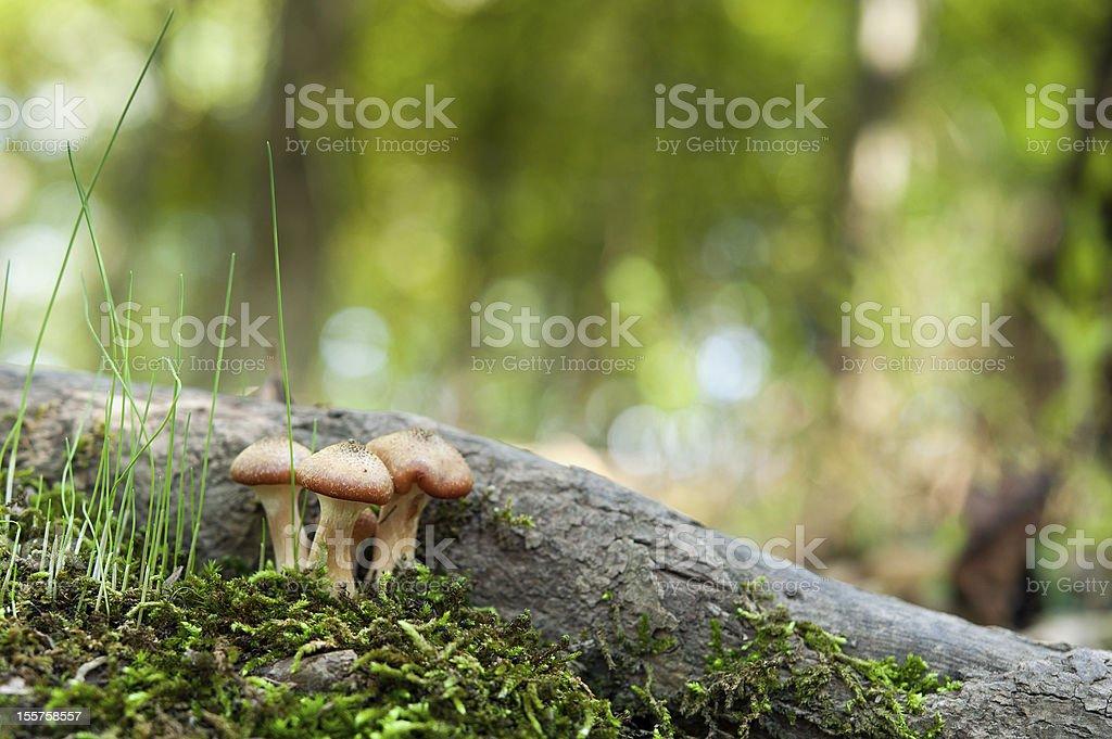 Armillaria mellea - honey mushrooms royalty-free stock photo