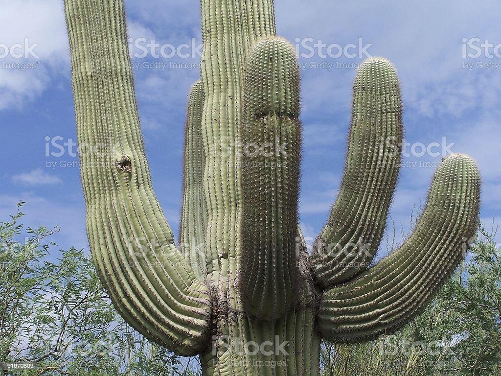 Arms of the Saguaro stock photo