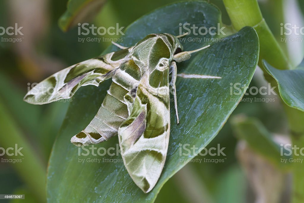 Army green moth butterfly stock photo