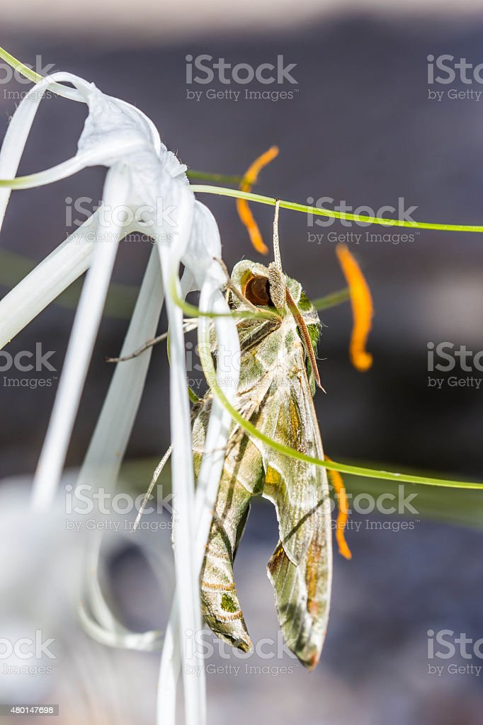 army green moth (Daphnis nerii) on flower stock photo