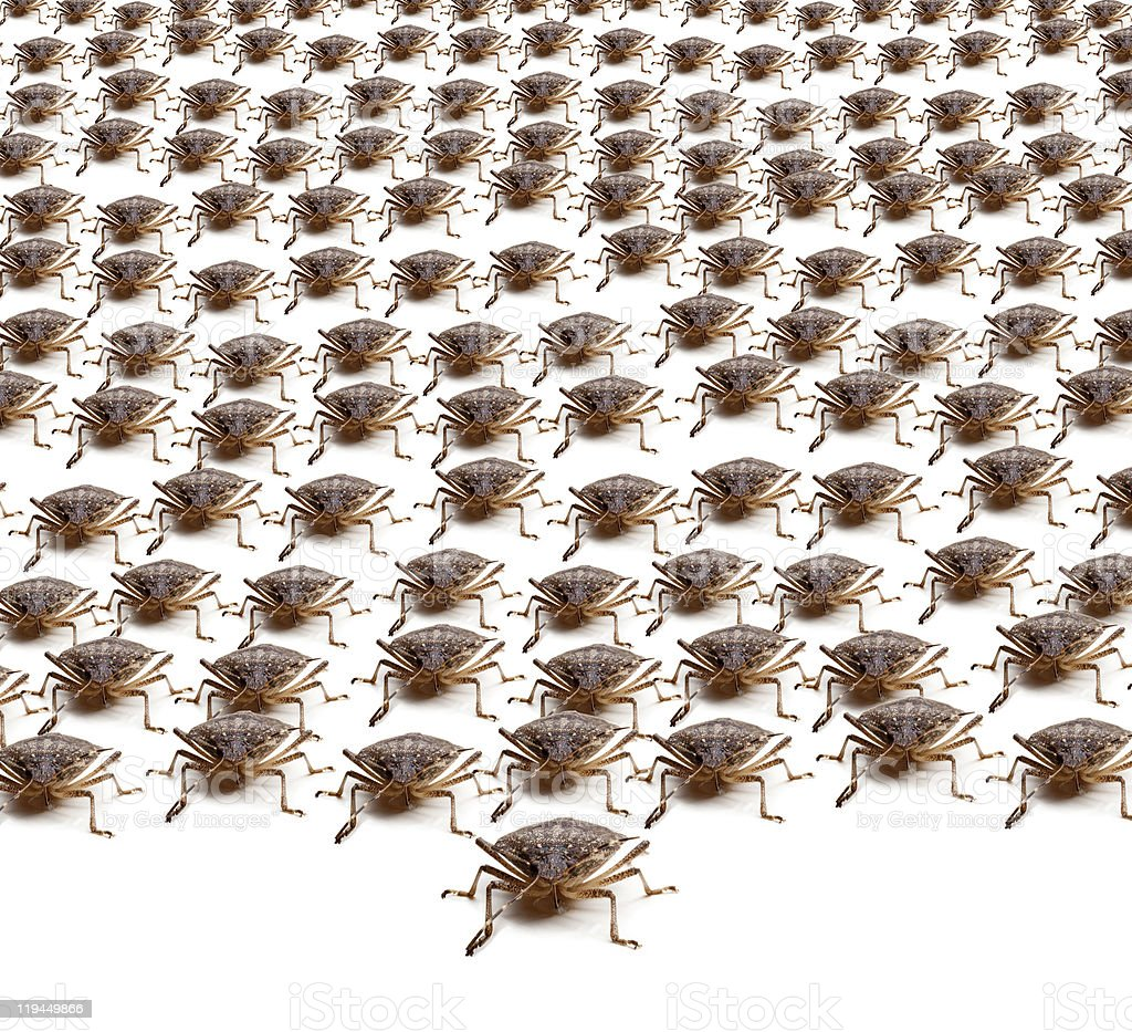 Army of Brown Stink Bugs royalty-free stock photo