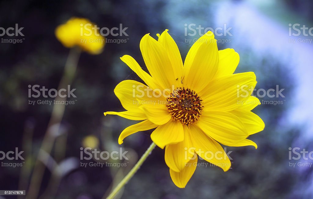 Arnica blossom stock photo