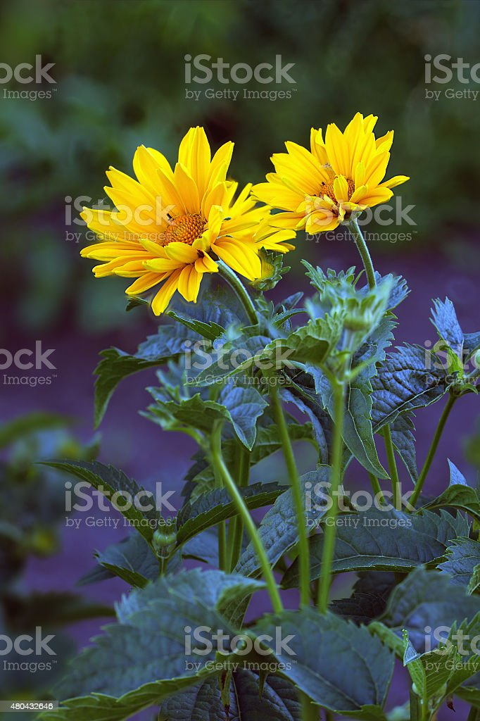 Arnica blossoms stock photo