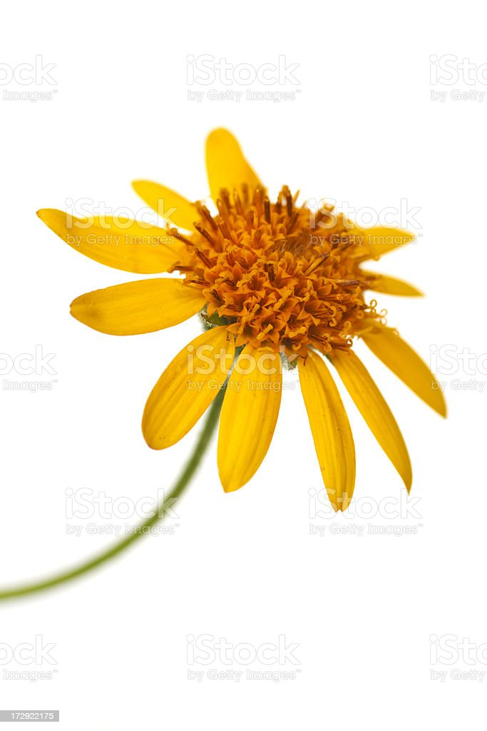arnica close up stock photo