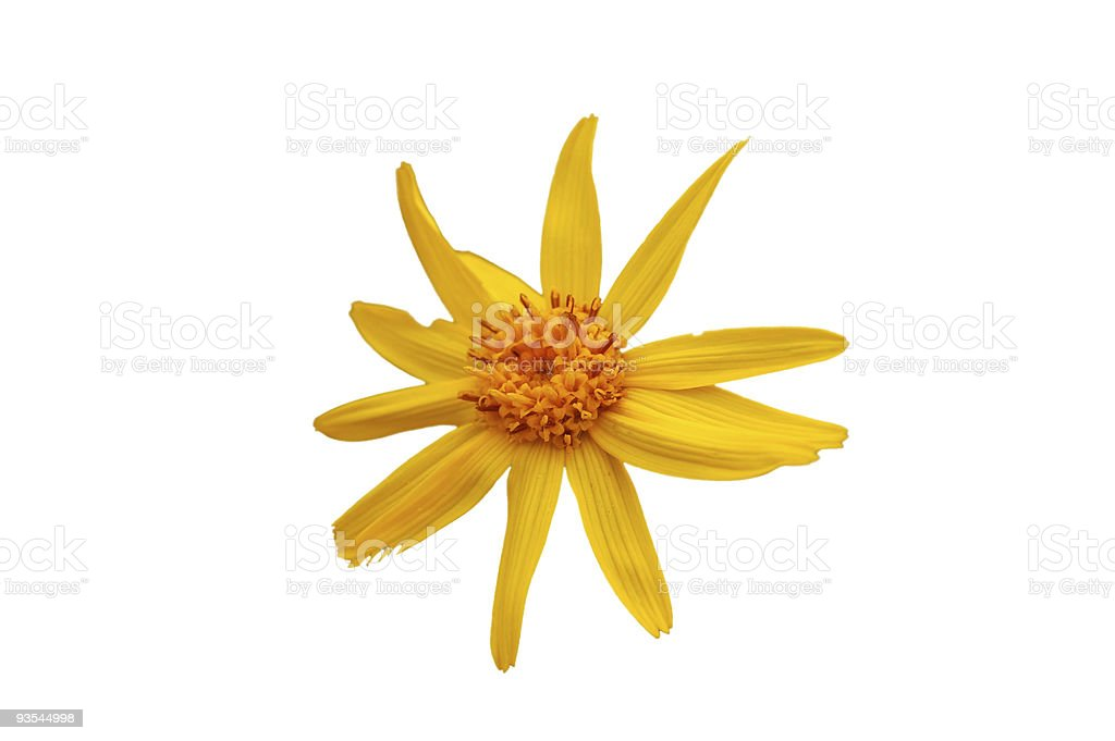 Arnica flower blossom stock photo
