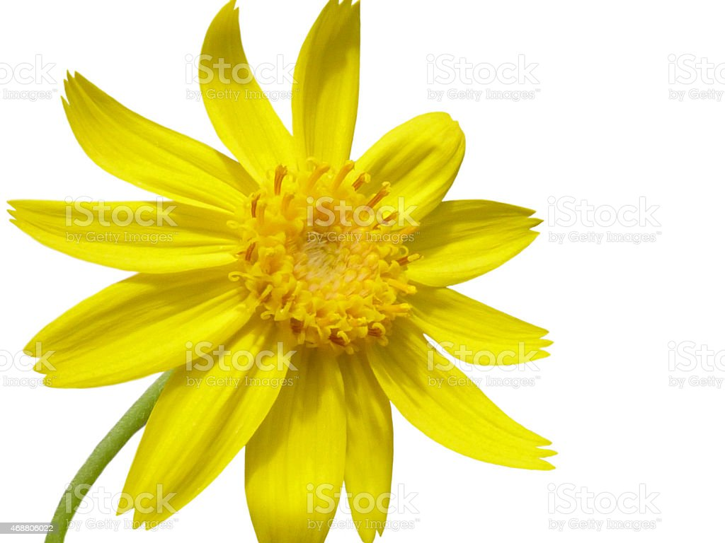 Arnica Flower Isolated On White stock photo