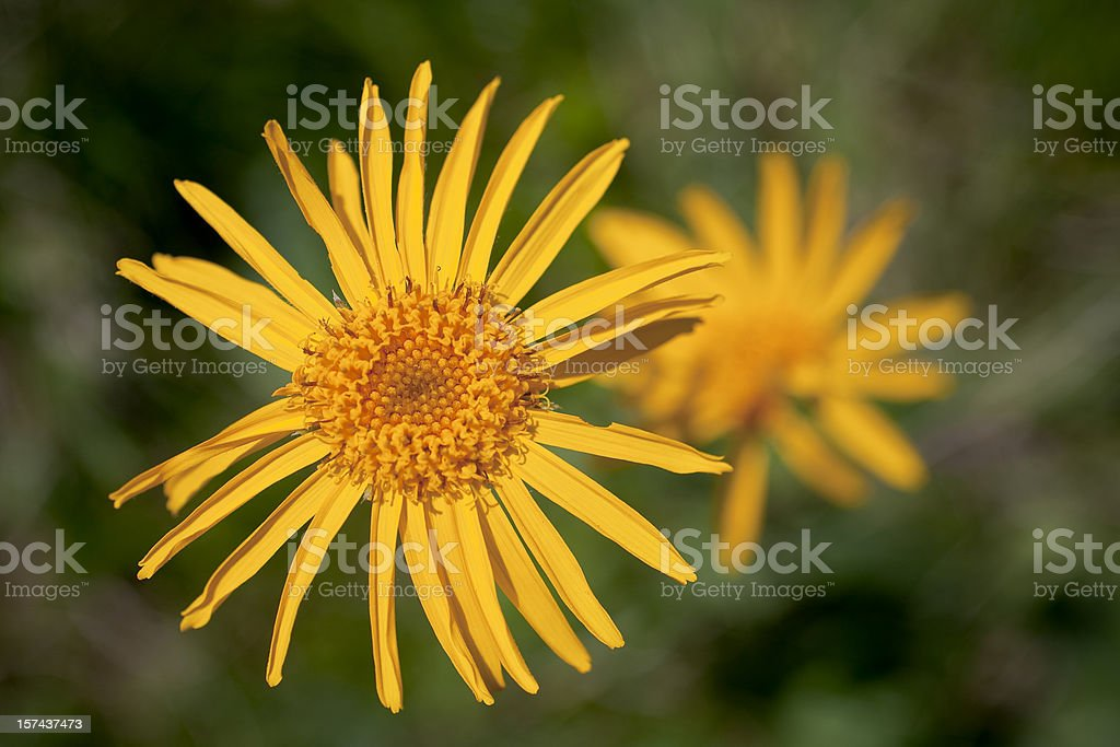 arnica flower stock photo