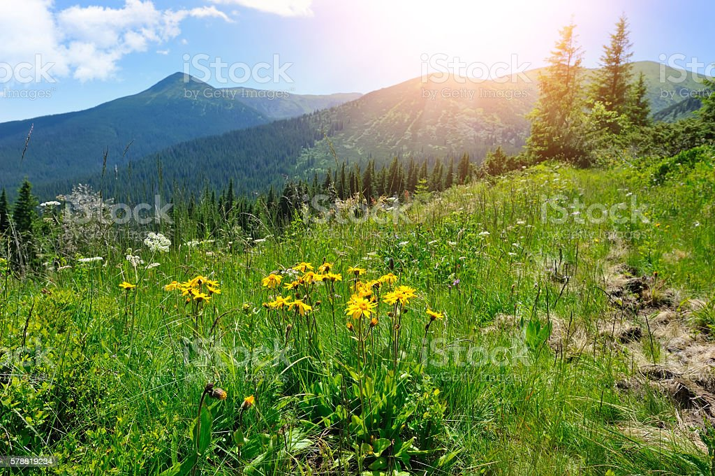 Arnica flowers (Arnica montana) on a background of mountains and stock photo
