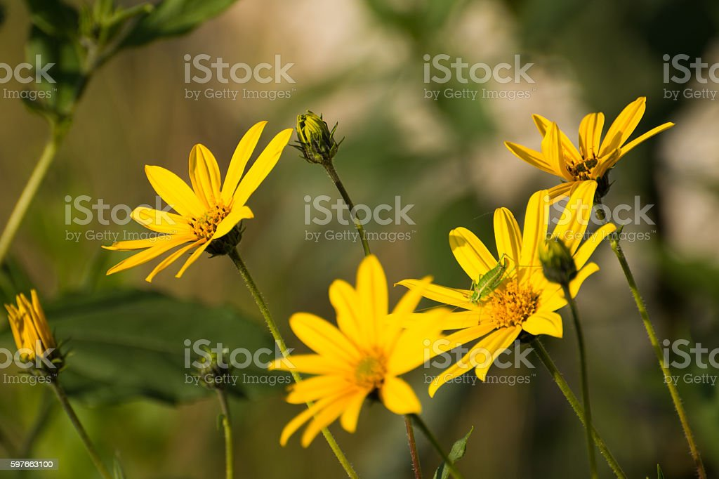 Arnica flowers stock photo