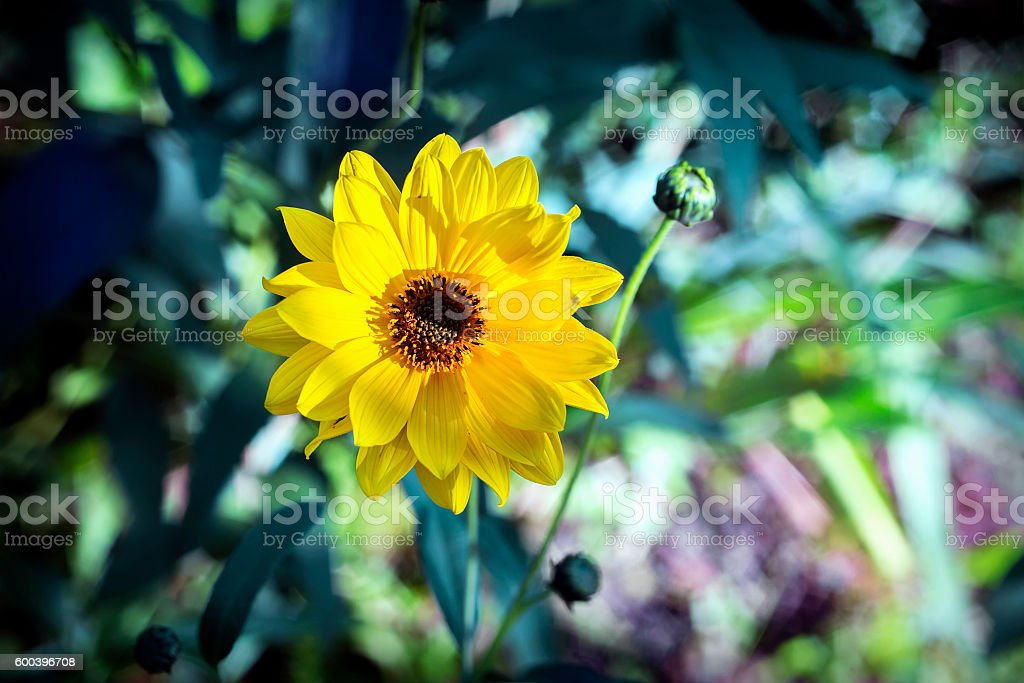 Arnica herb  blossom stock photo