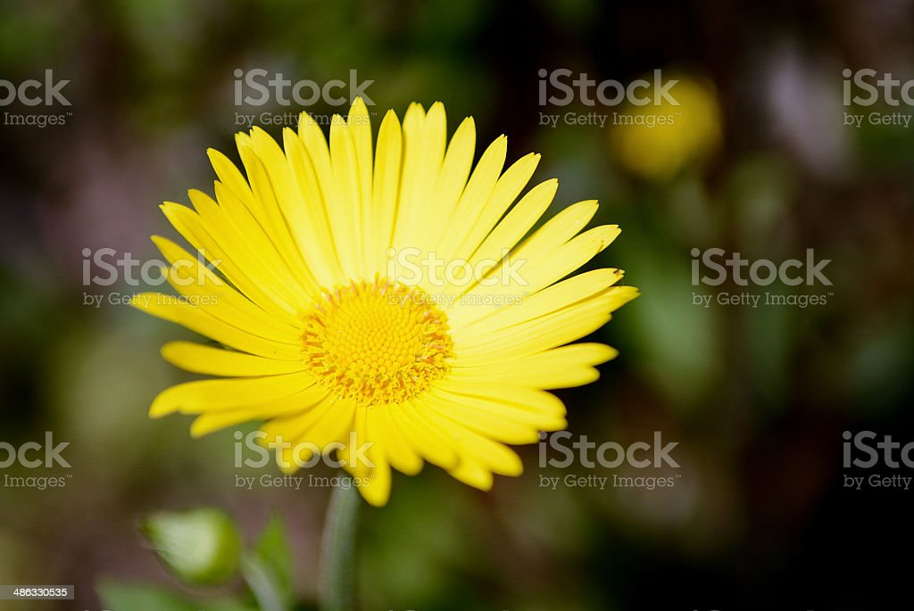 Arnica montana flower stock photo