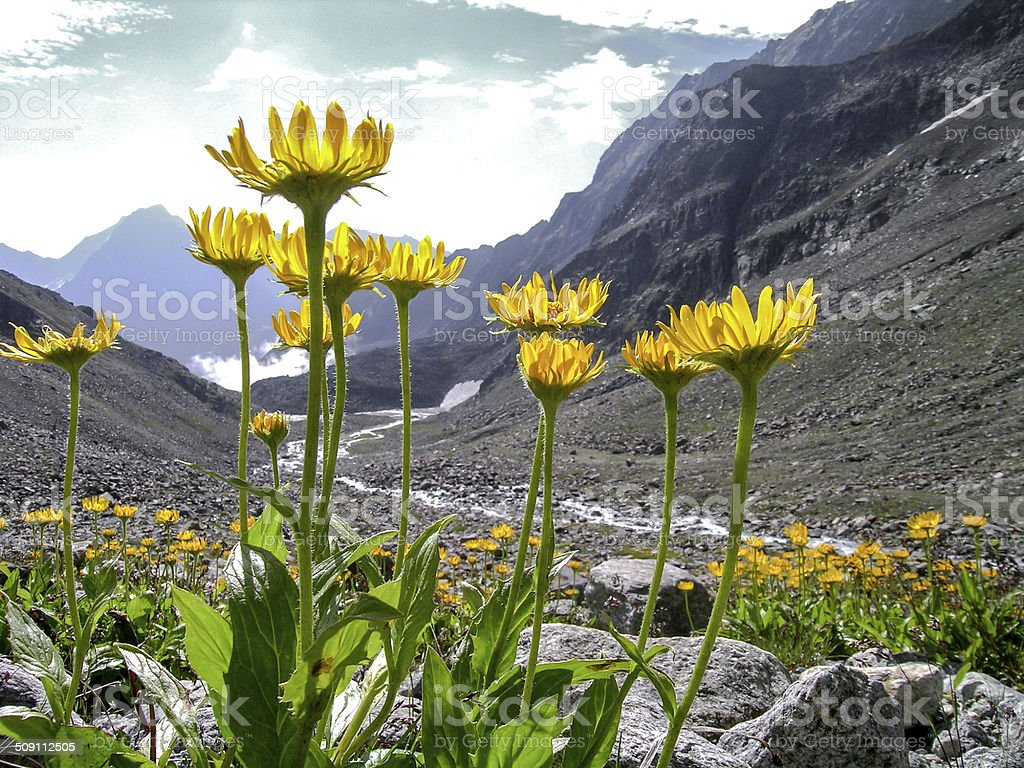 arnica montana in the alps stock photo