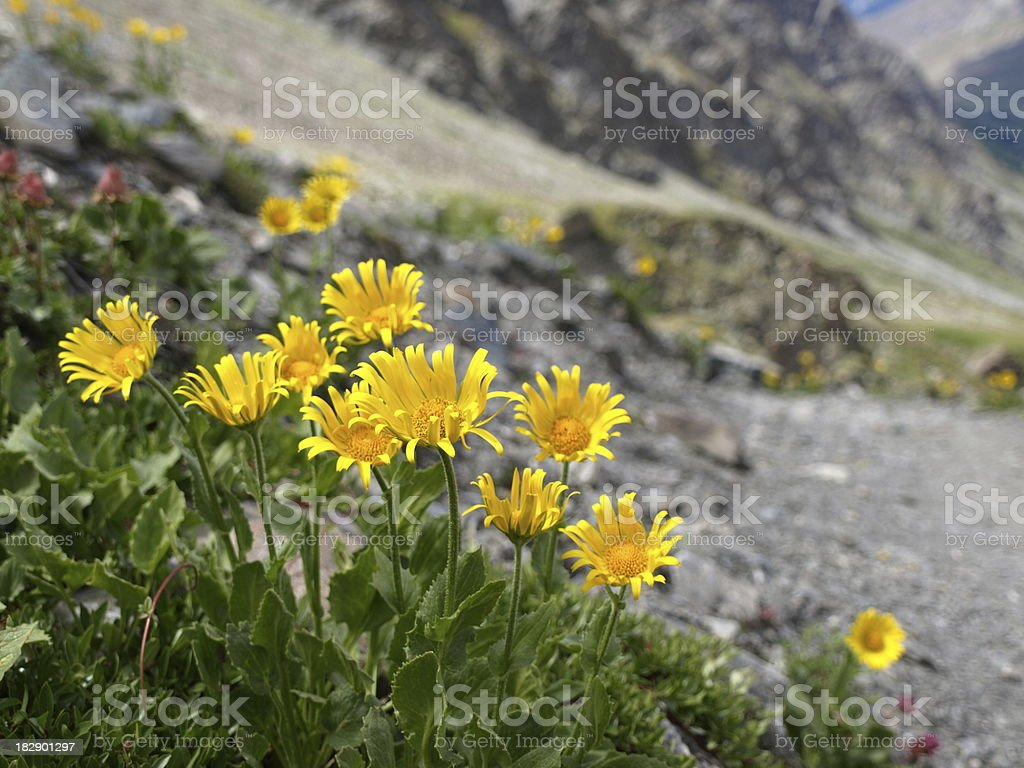 arnica montana in the mountain stock photo