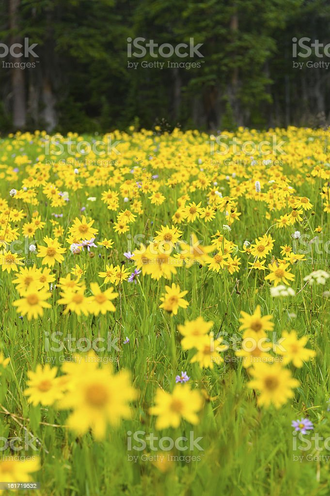 Arnica Yellow Alpine Wildflowers stock photo
