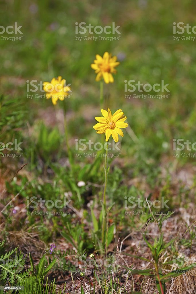 アルニカの花 ロイヤリティフリーストックフォト