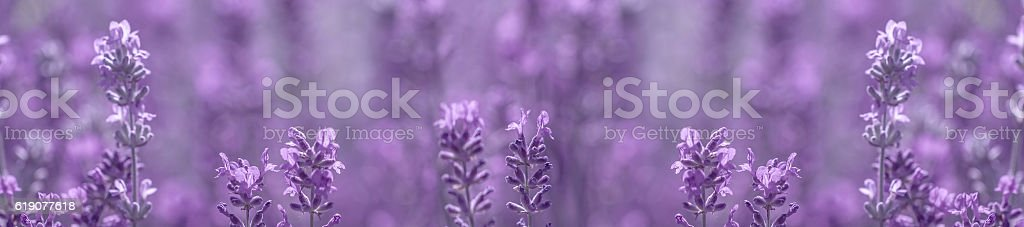 aromatic lavender grows on the field stock photo