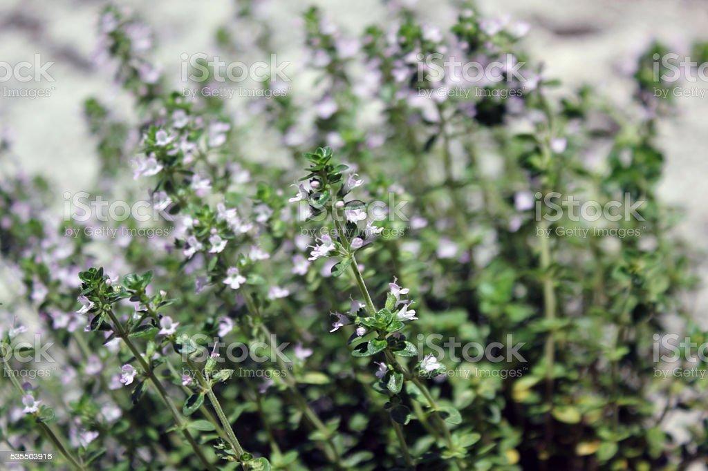aromatic plant, Thymus citriodorus. stock photo