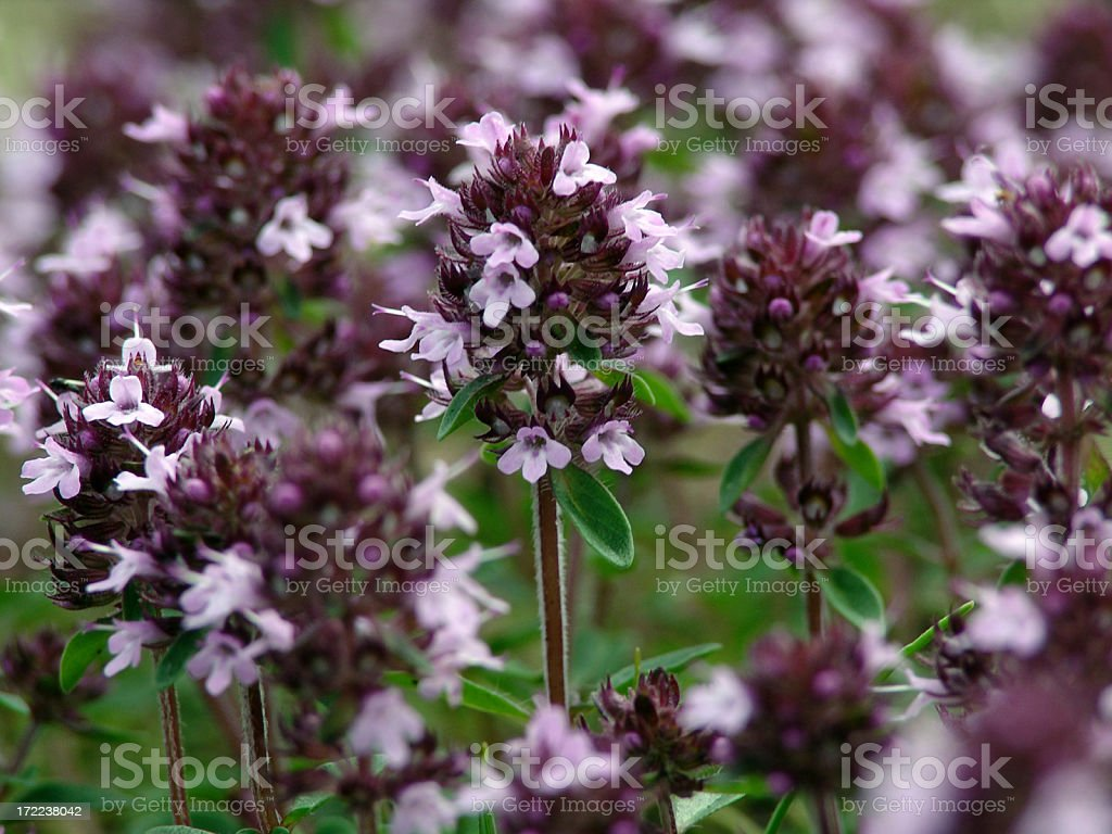 Aromatic wild thyme flowers royalty-free stock photo