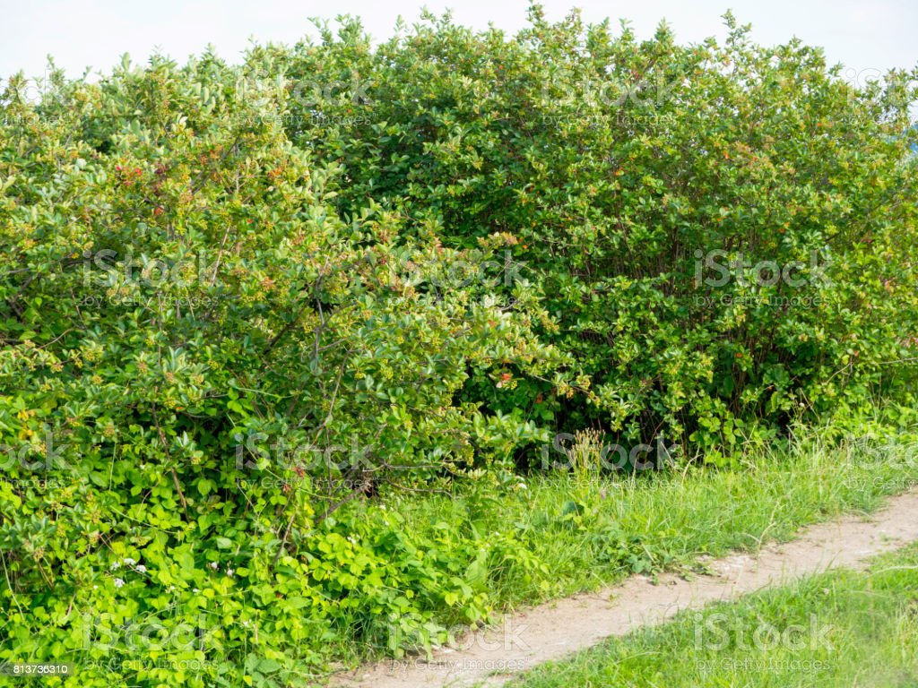 Aronia in a young orchard in the July sun stock photo