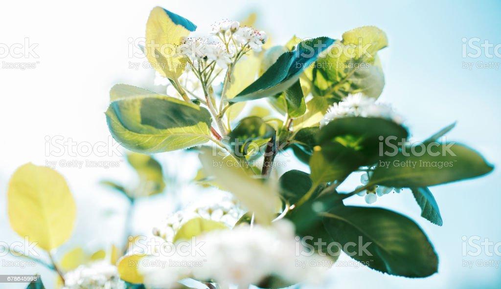 Aronia melanocarpa flower and leaves stock photo