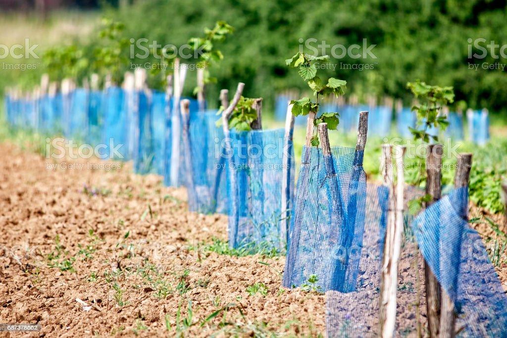 Aronia plantation stock photo
