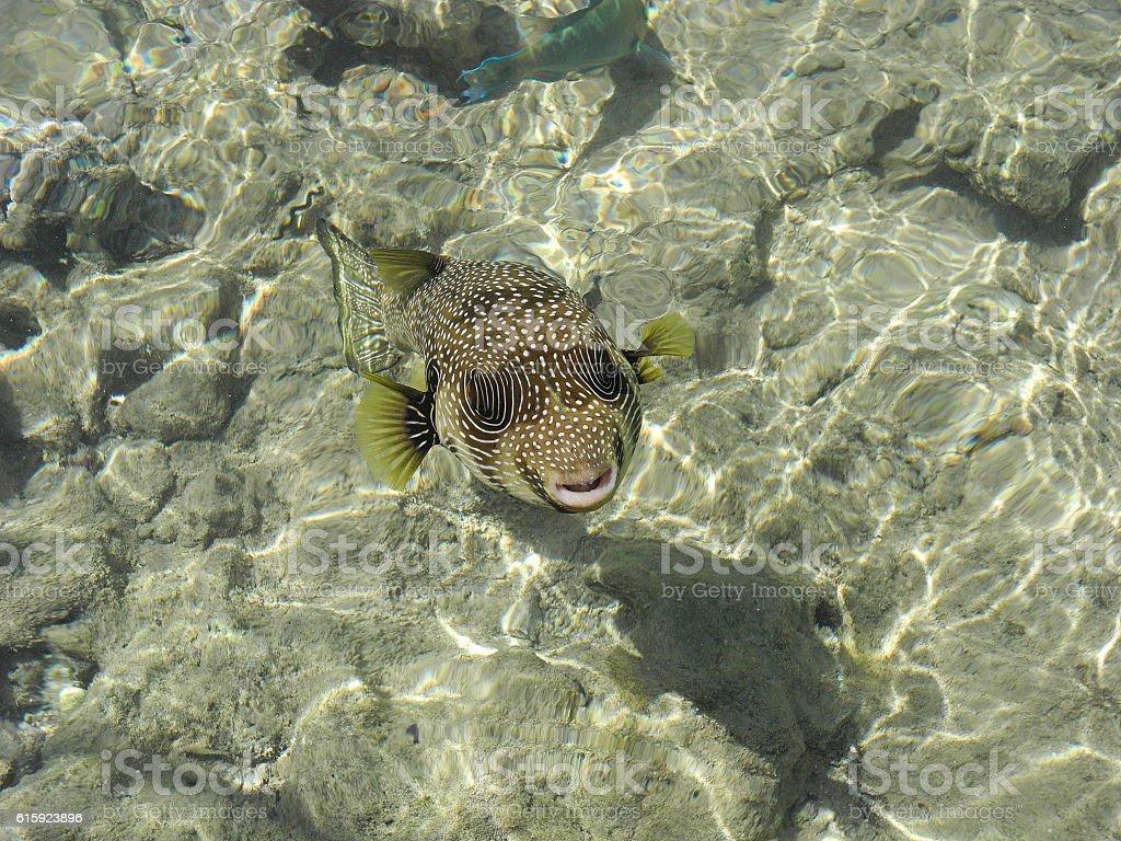 Arothron hispidus fish. stock photo