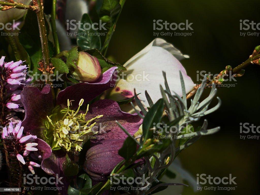 Around our pond -  Helleborus orientalis 'Ballard Hybrids'... stock photo