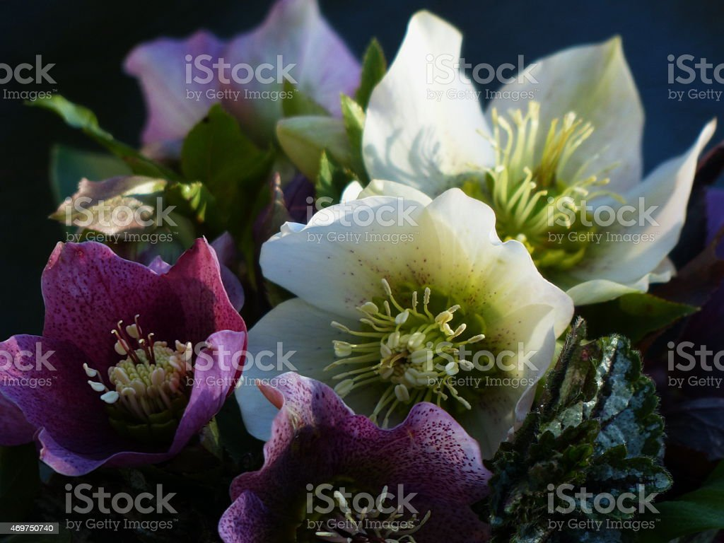 Around our pond -  Helleborus orientalis 'Lady Mix'... stock photo