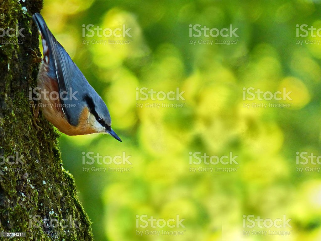 Around our Pond / The Nuthatch - Sitta europaea… stock photo