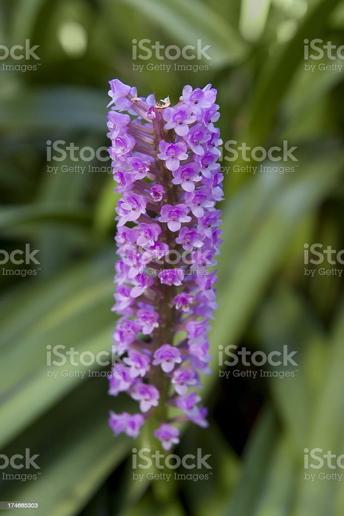 Arpophyllum giganteum stock photo