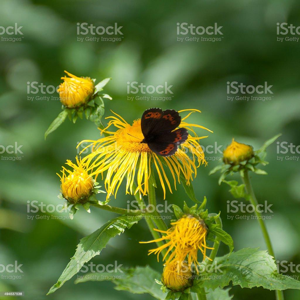 Arran brown butterfly (Erebia ligea) eating nectar royalty-free stock photo
