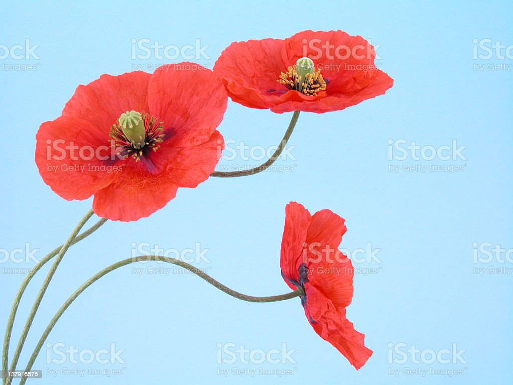 arrangement of red poppies royalty-free stock photo