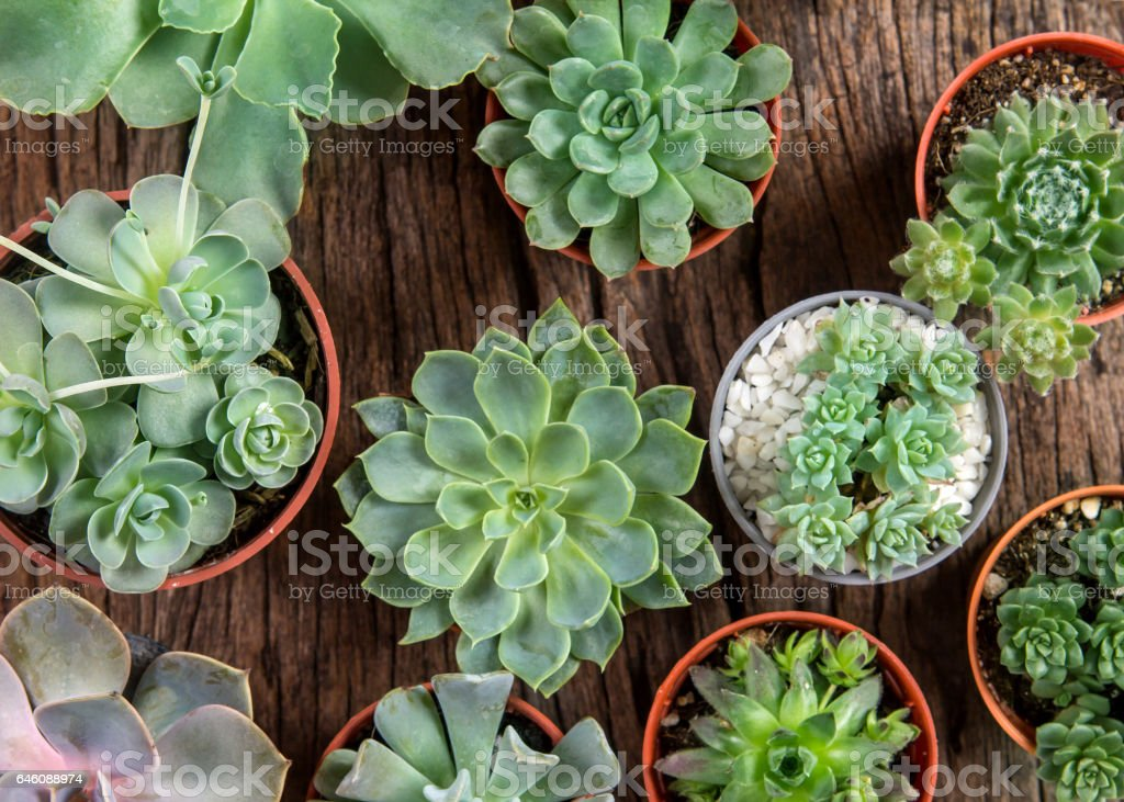 arrangement of succulents or cactus on wooden background stock photo