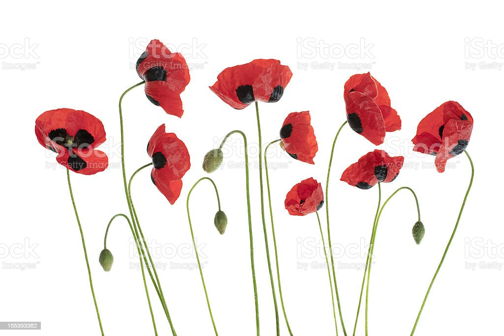 Arrangment of Red Poppies royalty-free stock photo