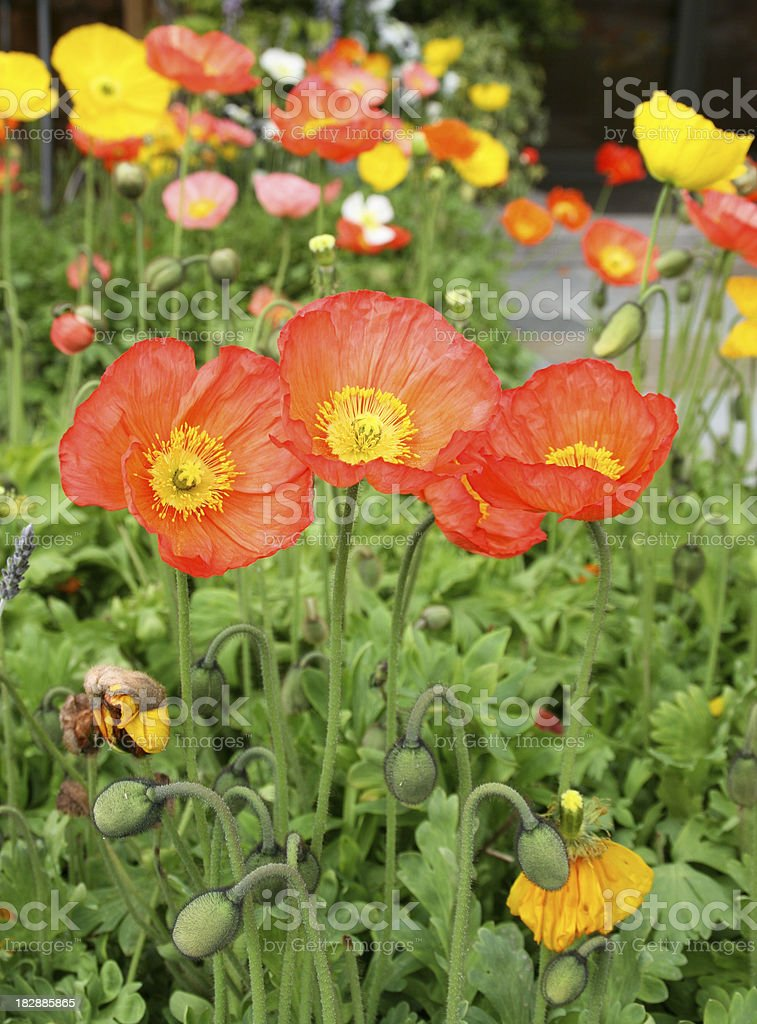 Array of Poppies royalty-free stock photo