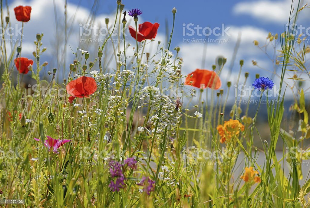 Array of wild flowers in bloom  royalty-free stock photo