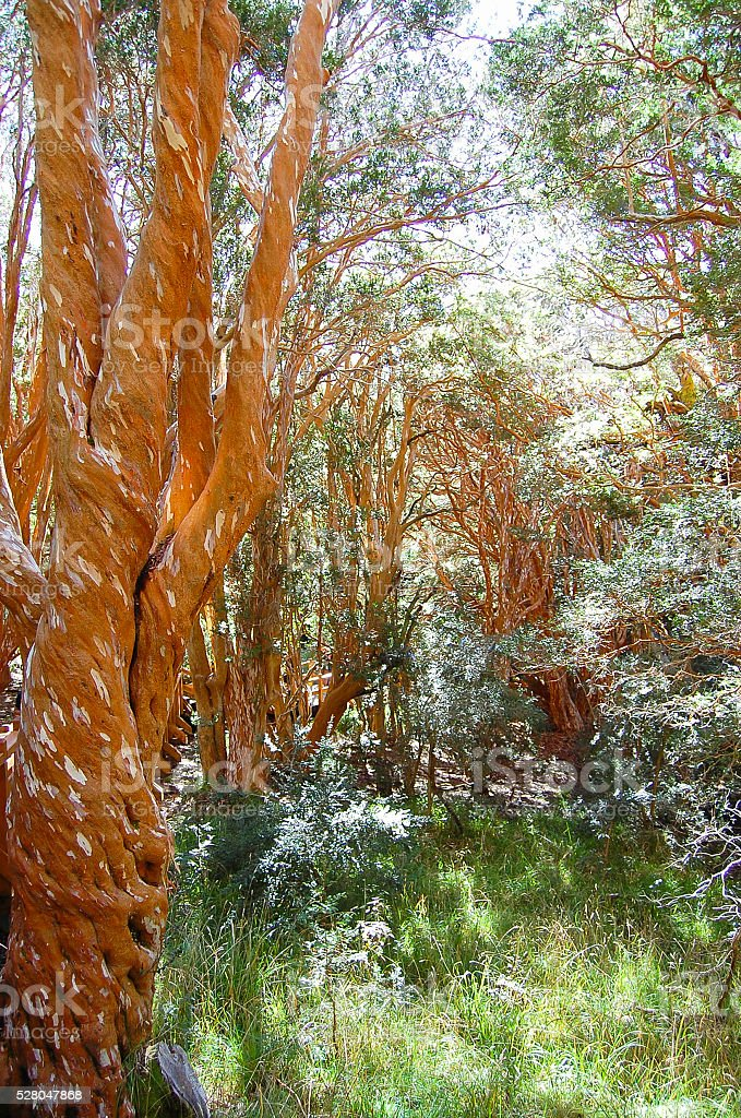 Arrayan Trees - Neuquen - Argentina stock photo