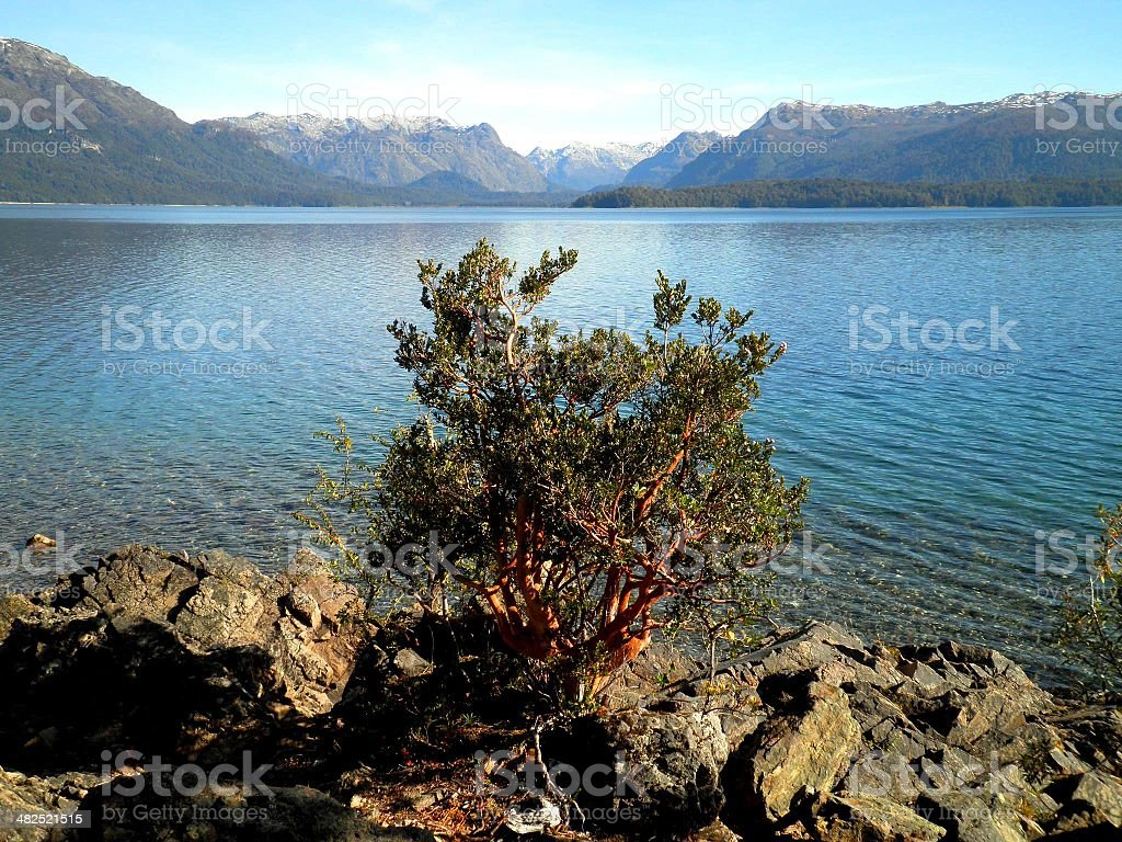 Arrayane Tree in Patagonia stock photo