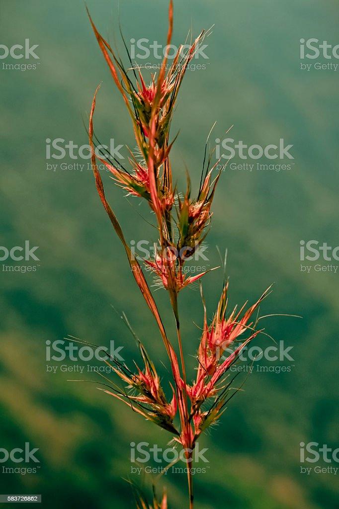 Arrhenatherum elatius l. beauv. stock photo