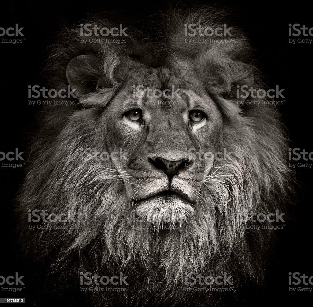 arrogant lion stock photo