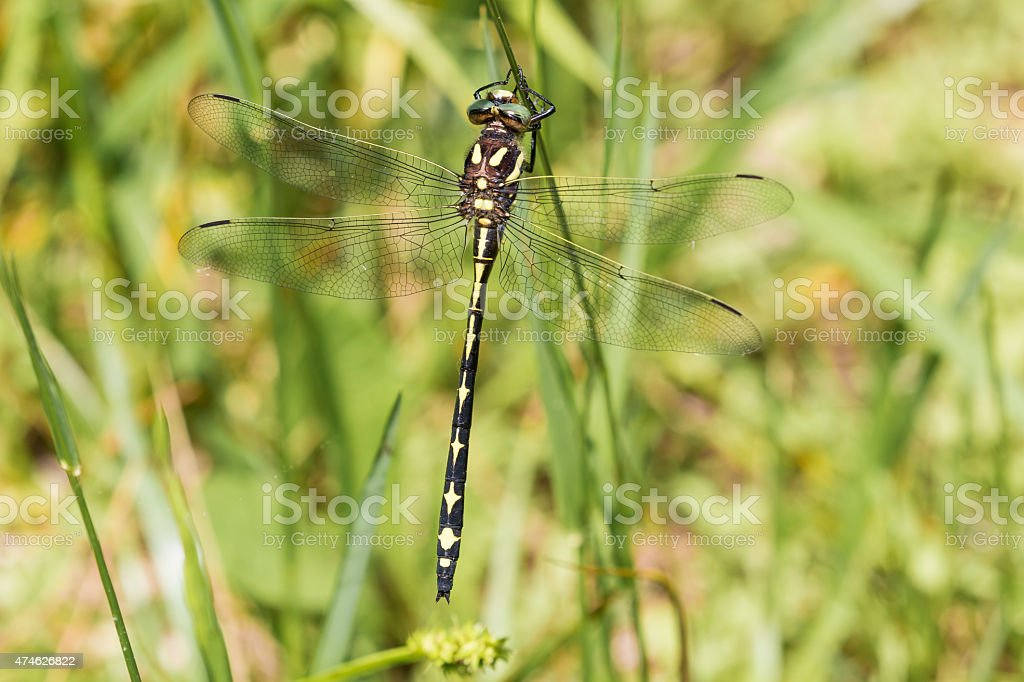 Arrowhead Spiketail Dragonfly -- Back View stock photo