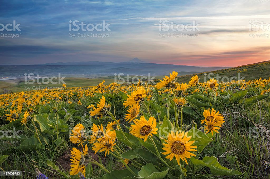 Arrowleaf Balsamroot at Columbia Hills State Park stock photo