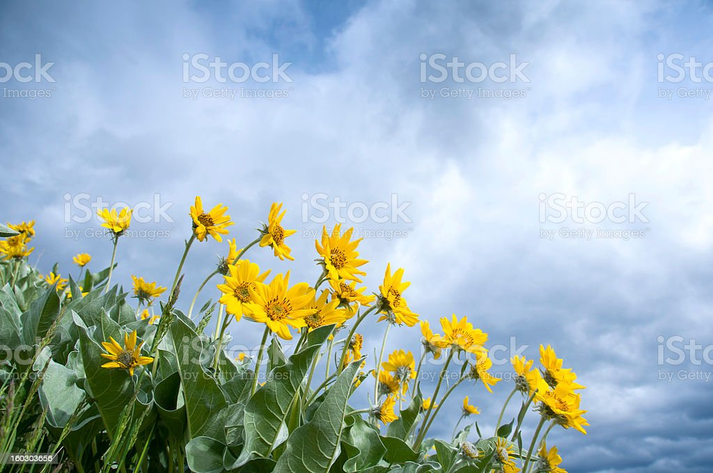Arrowleaf balsamroot flowers reach for the sky royalty-free stock photo