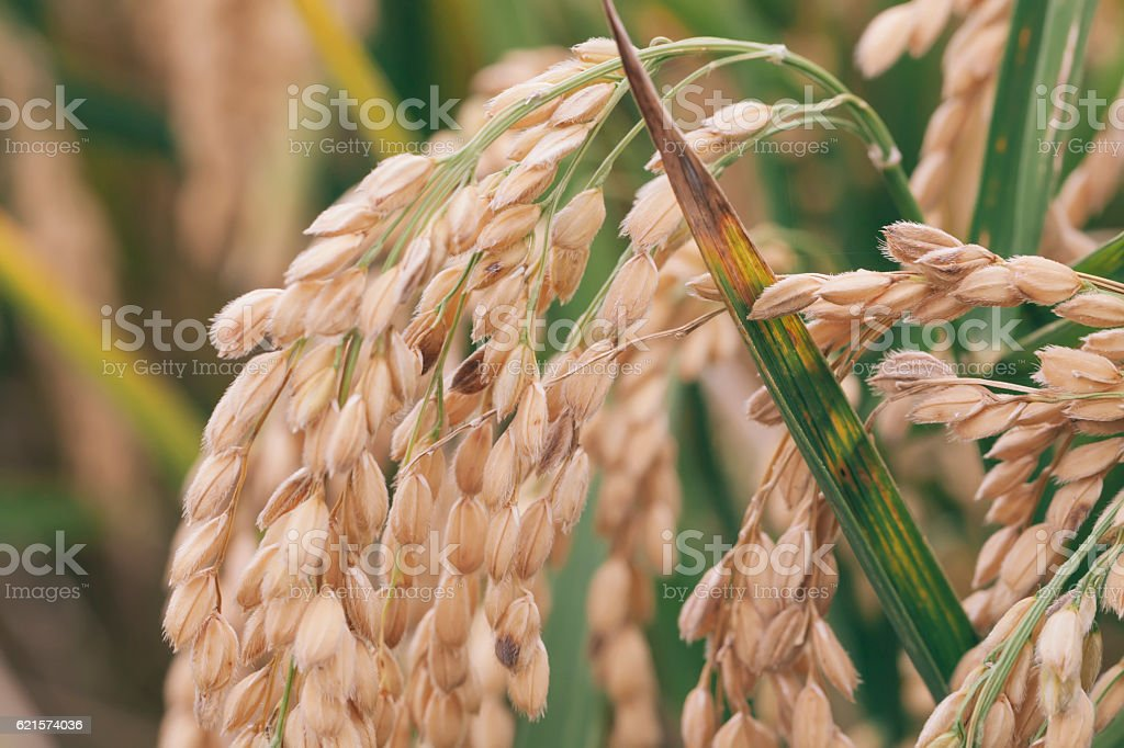 arroz stock photo