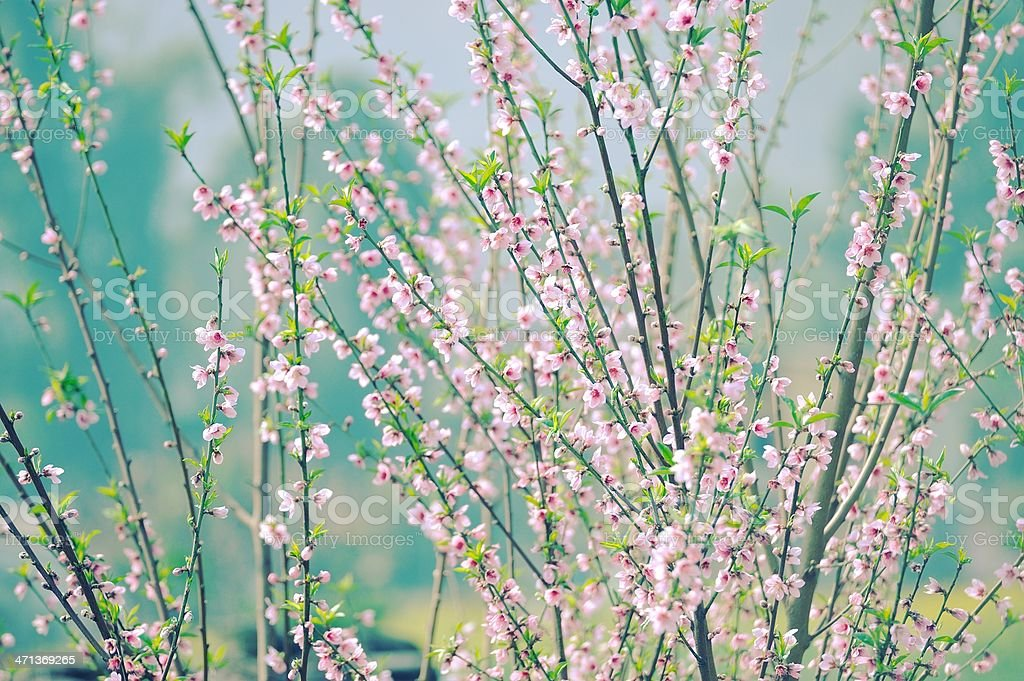 Art Background , Branch with pink blossoms ,wallpaper royalty-free stock photo