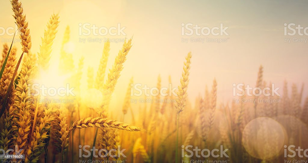 art golden wheat field and sunny day stock photo