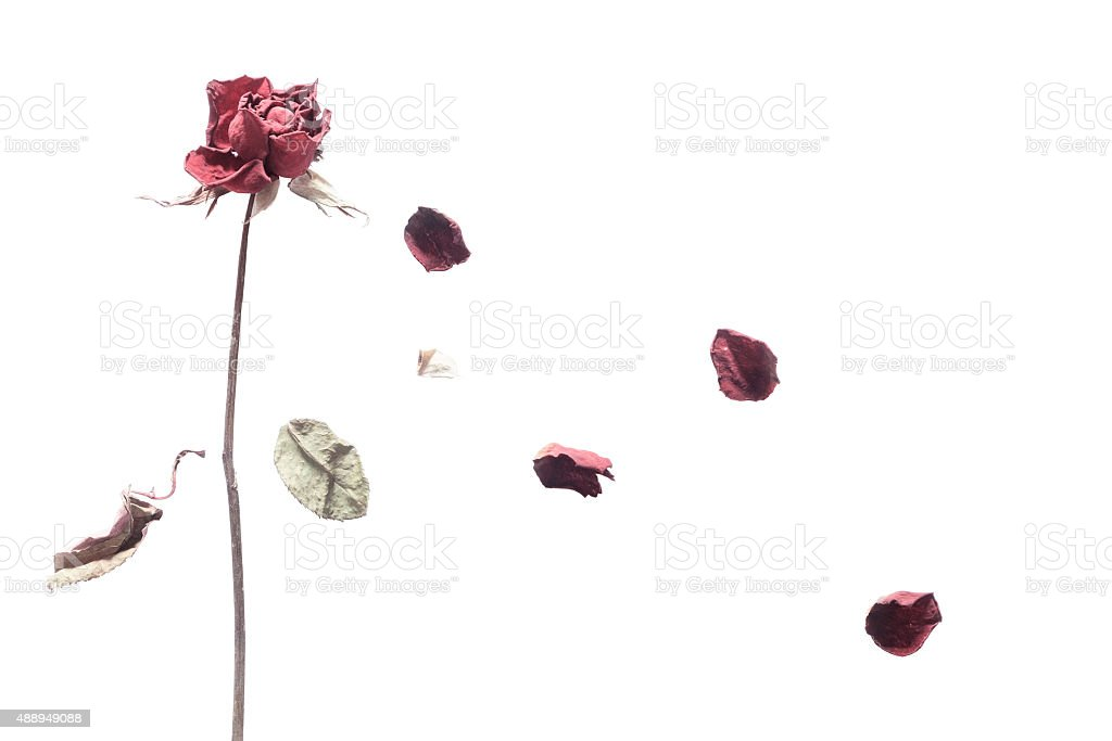 art of rose wither stock photo