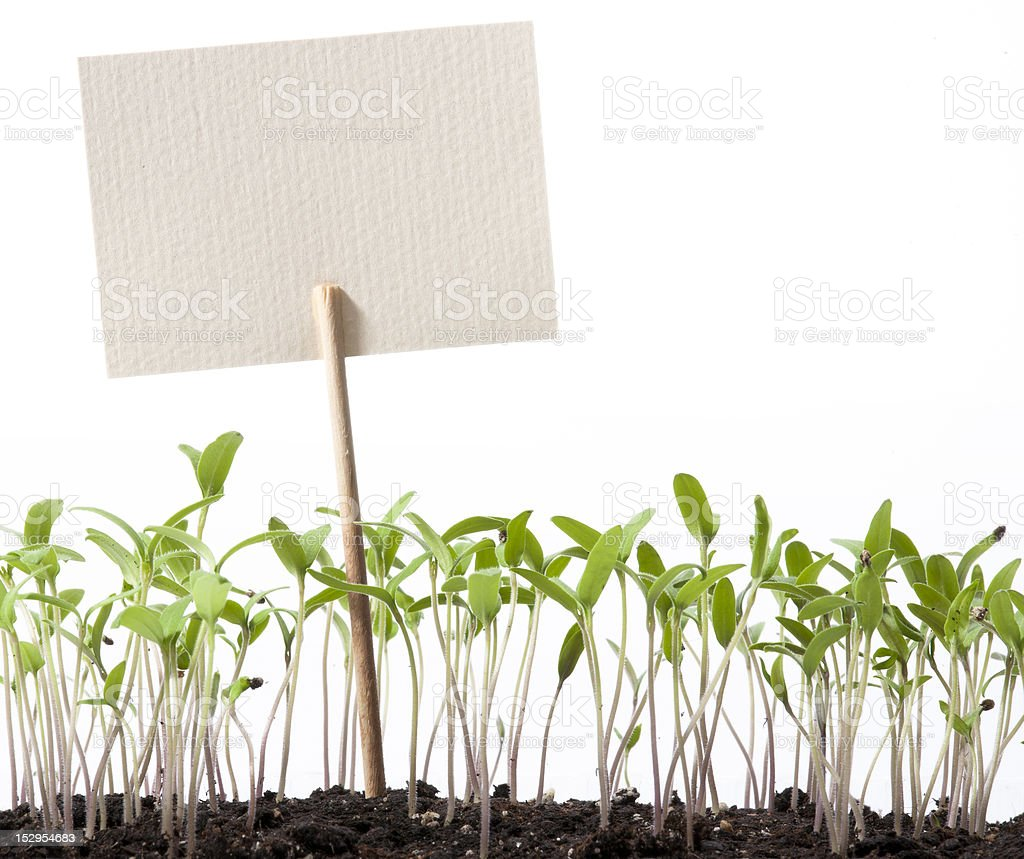 art seedlings of tomato and pointer class royalty-free stock photo