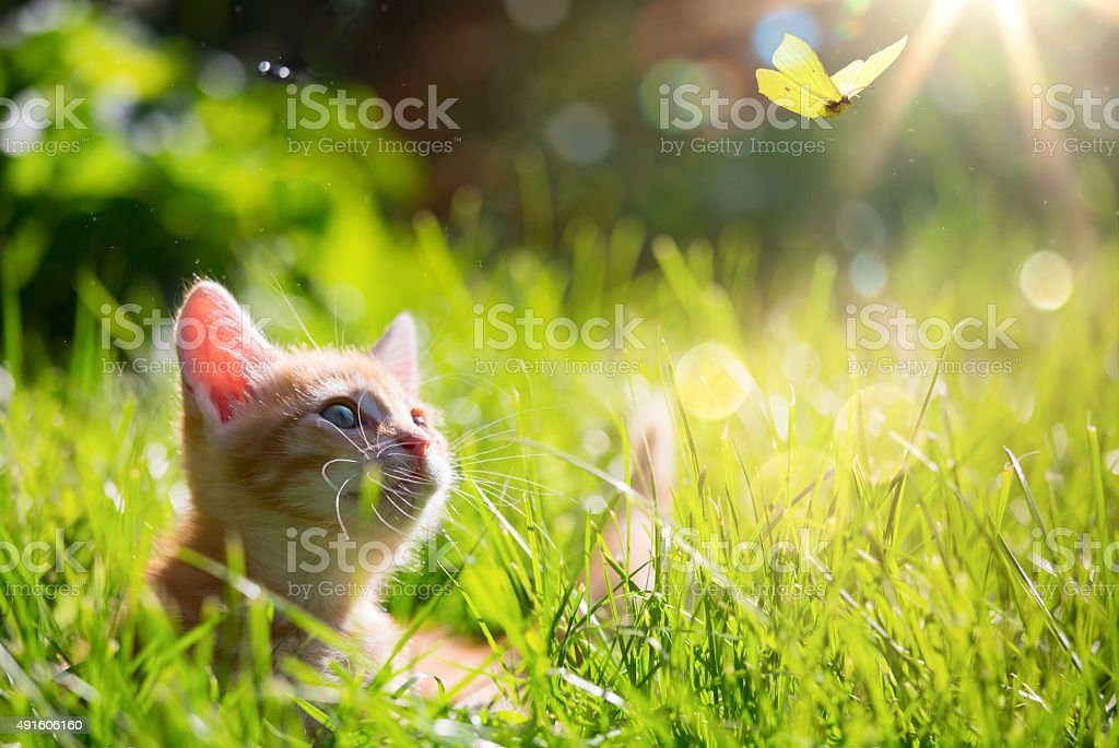 art Young cat kitten hunting a ladybug with Back Lit stock photo