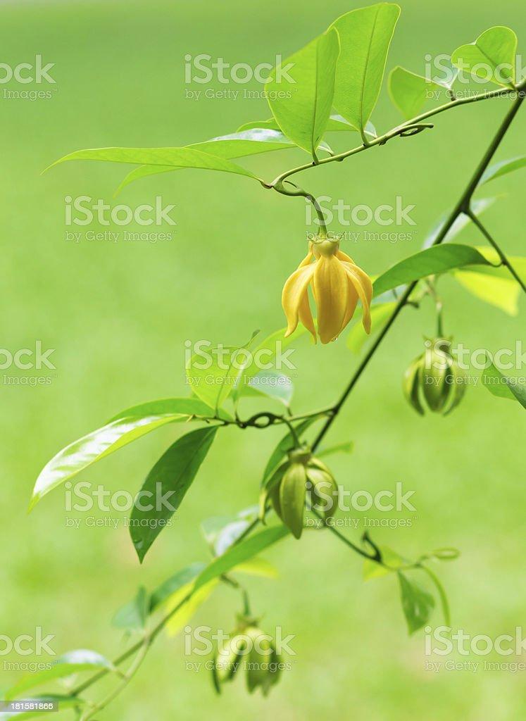 Artabotrys hexapetalus Flower Wallpaper, Yellow of Bhandari royalty-free stock photo